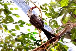 Red-billed Hornbill, Tockus erythrorhynchus, Endemic to Africa