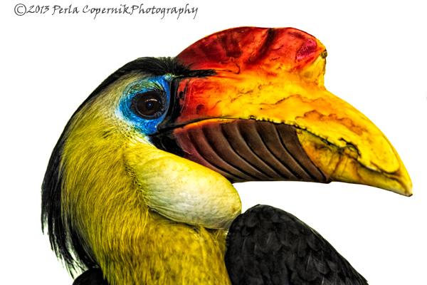 Hornbill, Wrinkled Hornbill, Bird