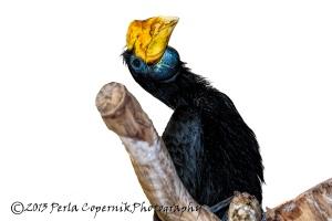 Female Wrinkled Hornbill, Aceros corrugatus