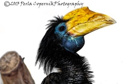 wrinkled hornbill, Asian Bird, Bird
