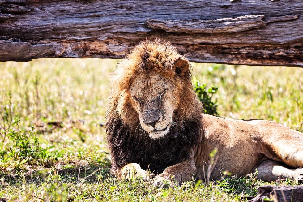Lions-149-copy