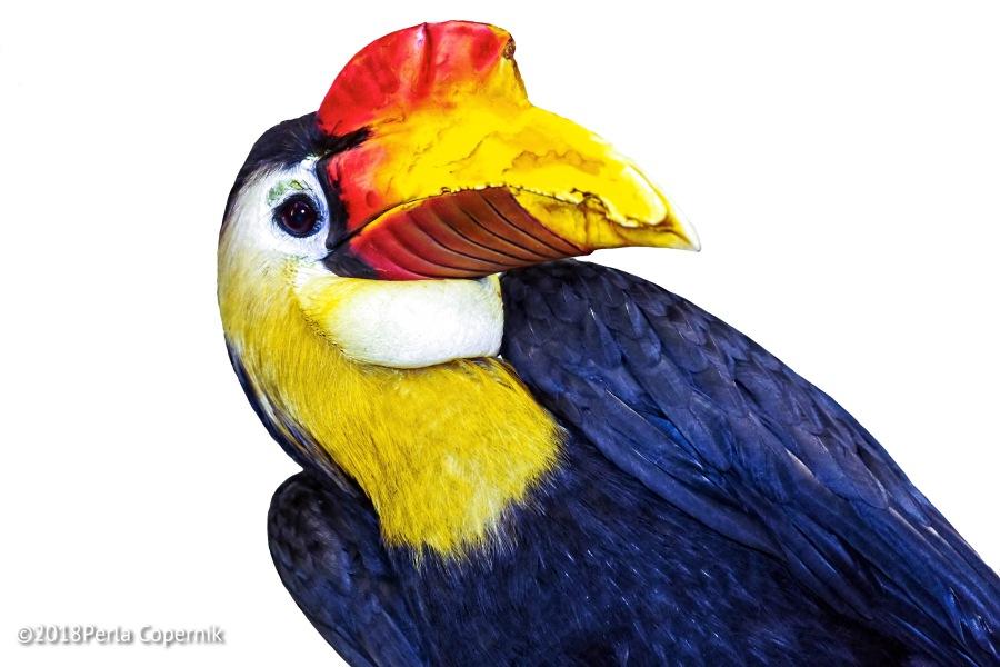 Male Wrinkled Hornbill