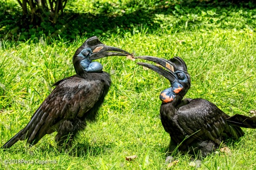 Abyssinian Ground-Hornbill