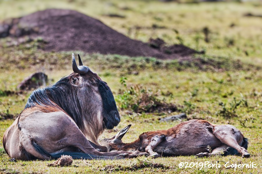 Endangered Ecosystem, Wildebeest