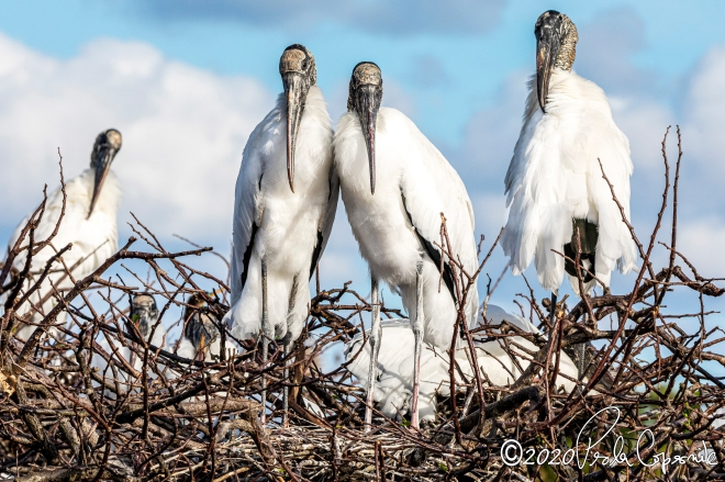 wood storks during nesting season