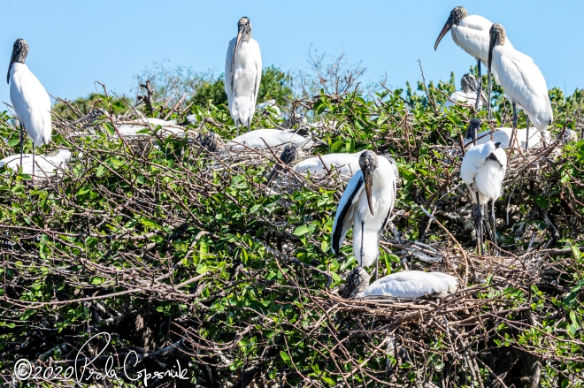 Wood storks, couples, nesting